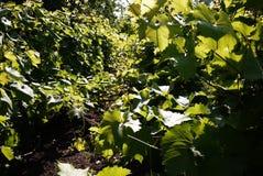 Lote para uvas crescentes A luz solar ilumina as folhas Detalhes e close-up fotografia de stock royalty free