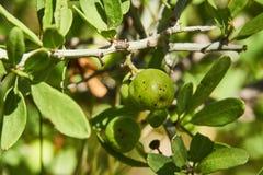 Lotebush、Lote灌木Condalia枣obtusifolia或者也瓦诺克的马钱子绿色果子特写镜头宏指令或者 库存图片