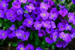 Loteia flores roxas Imagem de Stock