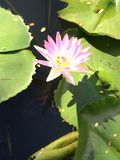 Loteryjka kwiat Zdjęcia Royalty Free