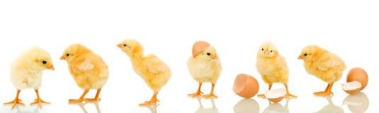 Lotes da galinha do bebê Fotografia de Stock Royalty Free