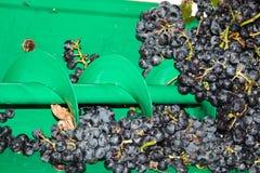 Lotes das uvas na máquina de descascamento foto de stock