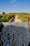Lotes das uvas no vinhedo foto de stock royalty free