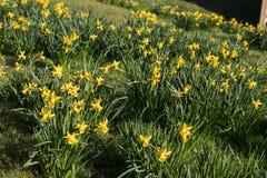 Lotes de narcisos amarelos selvagens Foto de Stock