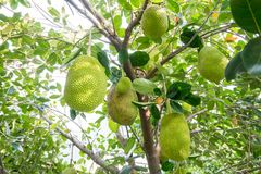 Lotes do jackfruit na árvore Fotos de Stock Royalty Free