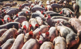 Lotes dos leitão na pena de porco Fotografia de Stock