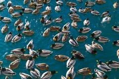 Lotes dos patos na água Foto de Stock Royalty Free