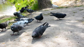 Lotes dos pombos no parque público Rebanho dos pássaros que comem o pão vídeos de arquivo