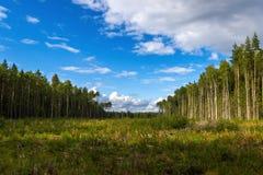 Lotes velhos onde cortaram a floresta Fotos de Stock