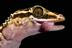 Lotharas gecko (den Paroedura lohatsaraen) arkivbild