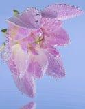 lotnicze bąbli kwiatu menchie Zdjęcia Royalty Free