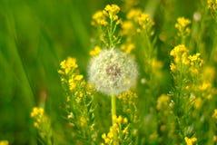 Lotniczy dandelion w kwiatach obraz stock