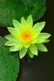 Loto amarillo en agua Imagenes de archivo