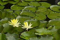 Loto amarillo en el lago Imágenes de archivo libres de regalías