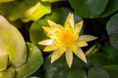 Loto amarillo hermoso Fotografía de archivo