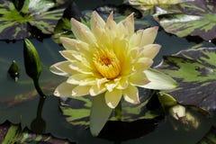 Loto amarillo que florece y flotación de las hojas imagen de archivo