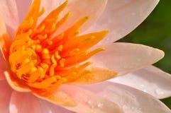 Loto anaranjado Imagen de archivo