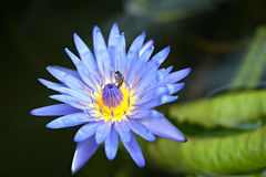 Loto azul Foto de archivo libre de regalías