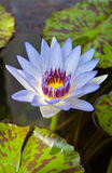Loto azul del flor Fotografía de archivo