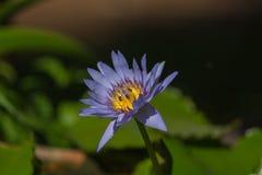 Loto azul hermoso con la abeja Foto de archivo libre de regalías