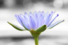 Loto azul púrpura foto de archivo libre de regalías
