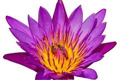 Loto azul y abeja del primer en la charca Imagen de archivo