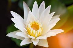 Loto bianco con illuminazione Fotografia Stock