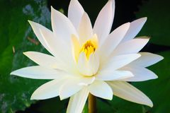 Loto bianco di fioritura fotografie stock