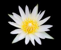 Loto bianco isolato Fotografia Stock