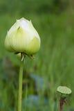 Loto bianco su fondo confuso verde Fotografie Stock