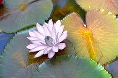 Loto bianco sulle foglie e sullo stagno o acqua in ombra del sole Fotografia Stock Libera da Diritti