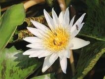 Loto blanco, abeja Imágenes de archivo libres de regalías