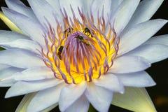 Loto blanco con la abeja Imagen de archivo