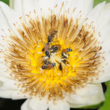 Loto blanco con las abejas Fotografía de archivo