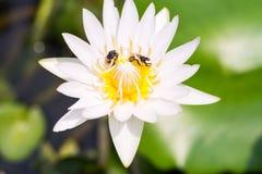 Loto blanco con las abejas Imagen de archivo libre de regalías