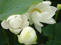 Loto blanco en baiyangdian Imagenes de archivo
