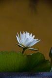 Loto blanco en el jardín Fotografía de archivo