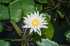 loto blanco en la laguna grande Fotografía de archivo libre de regalías