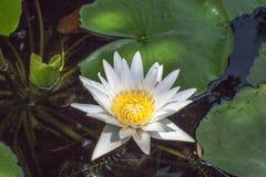 loto blanco en la laguna grande Foto de archivo