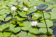 loto blanco en la laguna grande Fotos de archivo libres de regalías