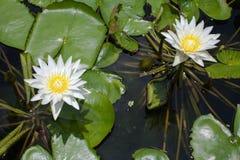 loto blanco en la laguna grande Fotos de archivo