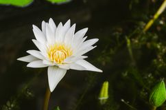 Loto blanco floreciente Fotografía de archivo