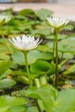 Loto blanco floreciente Imagen de archivo