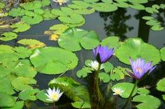 Loto blanco floreciente en lavabo del loto con el fondo verde de la hoja Fotografía de archivo libre de regalías