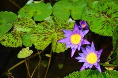 Loto blanco floreciente en lavabo del loto con el fondo verde de la hoja Foto de archivo