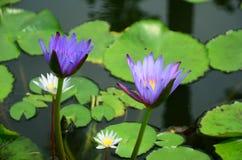 Loto blanco floreciente en lavabo del loto con el fondo verde de la hoja Fotos de archivo