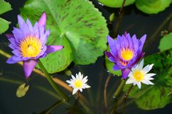 Loto blanco floreciente en lavabo del loto con el fondo verde de la hoja Fotos de archivo libres de regalías