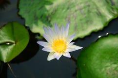 Loto blanco floreciente en lavabo del loto con el fondo verde de la hoja Imagen de archivo