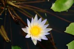 Loto blanco floreciente en lavabo del loto con el fondo verde de la hoja Imagen de archivo libre de regalías