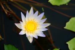 Loto blanco floreciente en lavabo del loto con el fondo verde de la hoja Foto de archivo libre de regalías
